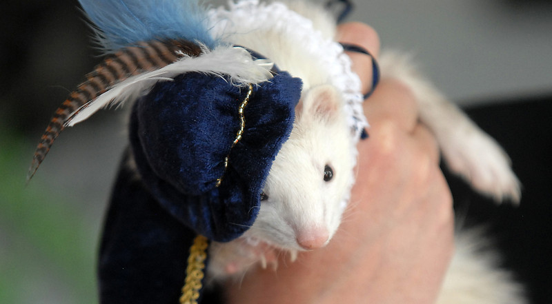 Ferret Jack Fiata was dressed as Sir Frances Drake by owners Paul and Jennifer Puebla for the costume contest at the Ferret Halloween Party at  Performance Foods on Saturday.<br /> <br /> October 16, 2010<br /> staff photo/David R. Jennings