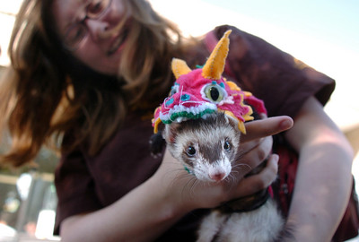 Robin Ackerman holds her ferret, Resy, dressed as the littlest dragon for the costume contest at the Ferret Halloween Party at  Performance Foods on Saturday.  October 16, 2010 staff photo/David R. Jennings