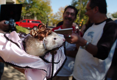 A ferret dressed as a dance hall girl owned by April Pietroiacovu is shown to the judges during the costume contest at the Ferret Halloween Party at  Performance Foods on Saturday.  October 16, 2010 staff photo/David R. Jennings