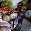 A ferret dressed as a dance hall girl owned by April Pietroiacovu is shown to the judges during the costume contest at the Ferret Halloween Party at  Performance Foods on Saturday.<br /> <br /> October 16, 2010<br /> staff photo/David R. Jennings