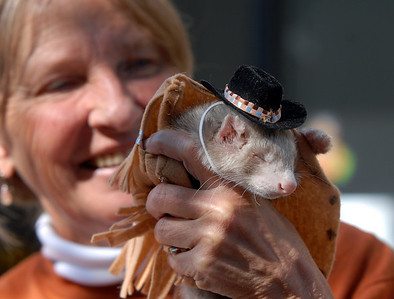 Santos, dressed as a cowboy, fell asleep while being held by Marsha Pietroiacovu, holding the ferret for her daughter April, during the costume contest at the Ferret Halloween Party at Performance Foods in Broomfield on Saturday.  October 16, 2010 staff photo/David R. Jennings