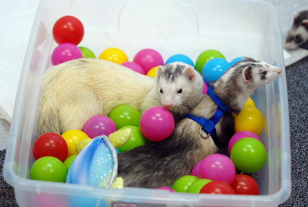 Ferrets play in the ball box during the Ferret Halloween Party at  Performance Foods in Broomfield on Saturday.<br /> <br /> October 16, 2010<br /> staff photo/David R. Jennings