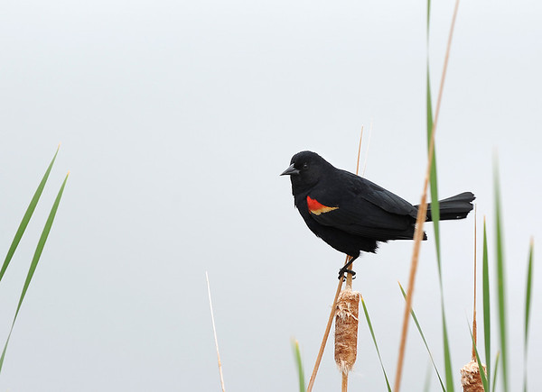 A Red Winged Black Bird watches the action during Saturday's Fishing Derby at Tom Frost Reservoir.<br /> May 12, 2012 <br /> staff photo/ David R. Jennings