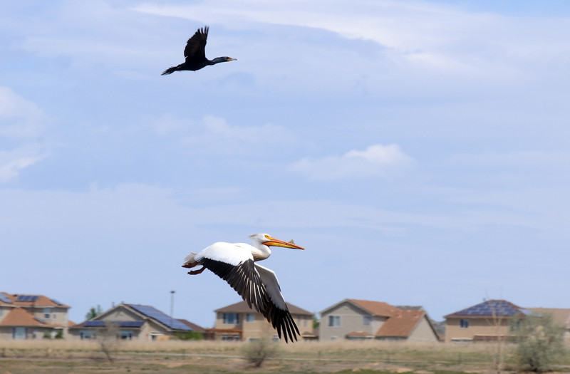 An American White Pelican and a Doubled-crested Cormorant fly over Tom Frost Reservoir during the fishing derby.