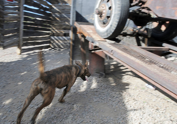 Frightmare owner Josh Holder's dog, Diesel, runs under an old truck  at the Frightmare house at 108th and Olde Wadsworth on Saturday.<br /> October 15, 2011<br /> staff photo/ David R. Jennings