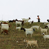 "A runner passes a group of goats eating knapweed at Boulder Reservoir on Tuesday, July 27.  A herd of about 300 goats are at the reservoir feeding to help control noxious weeds.  To see a video of the goats visit  <a href=""http://www.dailycamera.com"">http://www.dailycamera.com</a>.<br /> Greg Lindstrom / The Camera"