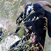 "A goat chews on weeds on the dam face of the Boulder Reservoir on Wednesday, July 28.  A herd of about 300 goats are at the reservoir feeding to help control noxious weeds.  To see a video of the goats visit  <a href=""http://www.dailycamera.com"">http://www.dailycamera.com</a>.<br /> Greg Lindstrom / The Camera"