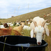 "A goat drinks from a water bucket on the dam face of the Boulder Reservoir on Wednesday, July 28.  A herd of about 300 goats are at the reservoir feeding to help control noxious weeds.  To see a video of the goats visit  <a href=""http://www.dailycamera.com"">http://www.dailycamera.com</a>.<br /> Greg Lindstrom / The Camera"