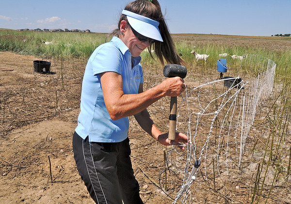 Lou Colby uses electric fences to contain the herd while they graze on thistles and grasses on land owned by the City and County of Broomfield at the northwest corner of 144th Ave. and Lowell Blvd. on Saturday.<br /> August 1, 2009<br /> staff photo/David Jennings