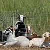 Lou Colby's goat herd rest behind electric fence while grazing on weeds growing on land owned by the City and County of Broomfield at the northwest corner of 144th Ave. and Lowell Blvd. on Saturday.<br /> August 1, 2009<br /> staff photo/David Jennings