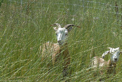 A goat in Lou Colby's herd eats grasses and weeds growing on land owned by the City and County of Broomfield at the northwest corner of 144th Ave. and Lowell Blvd. on Saturday. August 1, 2009 staff photo/David Jennings