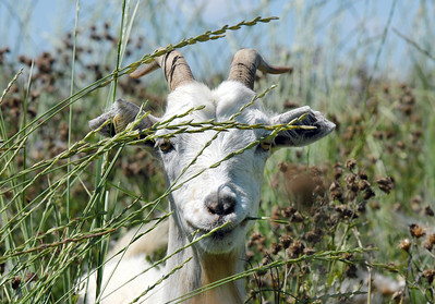 A goat in Lou Colby's herd pauses while eating thistles growing on land owned by the City and County of Broomfield at the northwest corner of 144th Ave. and Lowell Blvd. on Saturday. August 1, 2009 staff photo/David Jennings