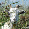 A goat in Lou Colby's herd pauses while eating thistles growing on land owned by the City and County of Broomfield at the northwest corner of 144th Ave. and Lowell Blvd. on Saturday.<br /> August 1, 2009<br /> staff photo/David Jennings