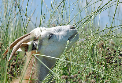 A goat in Lou Colby's herd stretches to dine on grass and weed while grazing on land owned by the City and County of Broomfield at the northwest corner of 144th Ave. and Lowell Blvd. on Saturday. August 1, 2009 staff photo/David Jennings