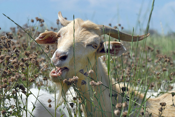 A goat in Lou Colby's herd eats grasses and weeds growing on land owned by the City and County of Broomfield at the northwest corner of 144th Ave. and Lowell Blvd. on Saturday.<br /> August 1, 2009<br /> staff photo/David Jennings