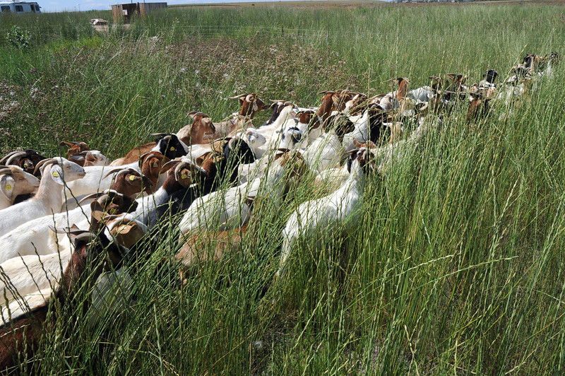 Lou Colby's herd moves into a new area to graze on weeds growing on land owned by the City and County of Broomfield at the northwest corner of 144th Ave. and Lowell Blvd. on Saturday.<br /> August 1, 2009<br /> staff photo/David Jennings