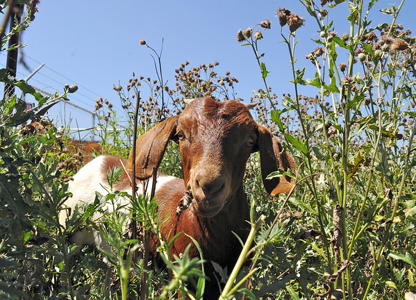 A kid goat in Lou Colby's herd pauses while grazing on thistles growing on land owned by the City and County of Broomfield at the northwest corner of 144th Ave. and Lowell Blvd. on Saturday.<br /> August 1, 2009<br /> staff photo/David Jennings