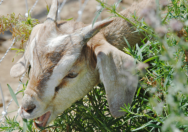 A kid goat in Lou Colby's herd grazes on weeds growing on land owned by the City and County of Broomfield at the northwest corner of 144th Ave. and Lowell Blvd. on Saturday.<br /> August 1, 2009<br /> staff photo/David Jennings
