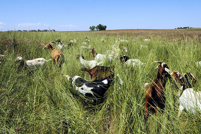 Lou Colby's herd grazes on weeds growing on land owned by the City and County of Broomfield at the northwest corner of 144th Ave. and Lowell Blvd. on Saturday. August 1, 2009 staff photo/David Jennings