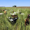 Lou Colby's herd grazes on weeds growing on land owned by the City and County of Broomfield at the northwest corner of 144th Ave. and Lowell Blvd. on Saturday.<br /> August 1, 2009<br /> staff photo/David Jennings