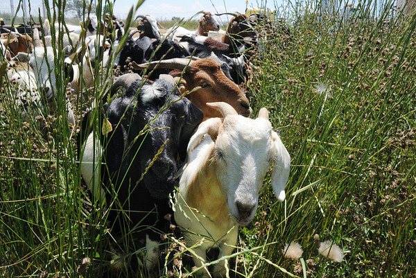 Kid goats in Lou Colby's herd move to a new area to graze on  weeds growing on land owned by the City and County of Broomfield at the northwest corner of 144th Ave. and Lowell Blvd. on Saturday.<br /> August 1, 2009<br /> staff photo/David Jennings