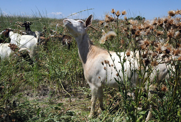 A goat in Lou Colby's herd stretches to dine on a blade of grass while grazing on land owned by the City and County of Broomfield at the northwest corner of 144th Ave. and Lowell Blvd. on Saturday.<br /> August 1, 2009<br /> staff photo/David Jennings