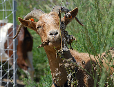 A goat eats a thistle growing on land owned by the City and County of Broomfield at the northwest corner of 144th Ave. and Lowell Blvd. on Saturday. August 1, 2009 staff photo/David Jennings