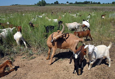 Taquito, center,  the wether male goat in Lou Colby's herd, scratches his back with his horn while the herd grazes on land owned by the City and County of Broomfield at the northwest corner of 144th Ave. and Lowell Blvd. on Saturday. August 1, 2009 staff photo/David Jennings