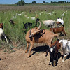 Taquito, center,  the wether male goat in Lou Colby's herd, scratches his back with his horn while the herd grazes on land owned by the City and County of Broomfield at the northwest corner of 144th Ave. and Lowell Blvd. on Saturday.<br /> August 1, 2009<br /> staff photo/David Jennings