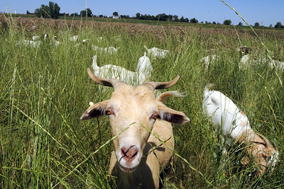 A goat in Lou Colby's herd looks up while grazing on grasses and weeds growing on land owned by the City and County of Broomfield at the northwest corner of 144th Ave. and Lowell Blvd. on Saturday. August 1, 2009 staff photo/David Jennings