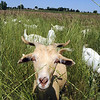 A goat in Lou Colby's herd looks up while grazing on grasses and weeds growing on land owned by the City and County of Broomfield at the northwest corner of 144th Ave. and Lowell Blvd. on Saturday.<br /> August 1, 2009<br /> staff photo/David Jennings