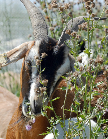 A goat in Lou Colby's herd eats thistles growing on land owned by the City and County of Broomfield at the northwest corner of 144th Ave. and Lowell Blvd. on Saturday.<br /> August 1, 2009<br /> staff photo/David Jennings