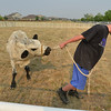 "Cody Kauffman, 12, with Wild West Ranch, tries to get Ralph the ""cow"" to walk around the pen for the Cow Plop Drop contest for the Senior Center during Broomfield's Great American Picnic at the Broomfield County Commons Park on Wednesday.<br /> <br /> JJuly 4, 2012<br /> staff photo/ David R. Jennings"