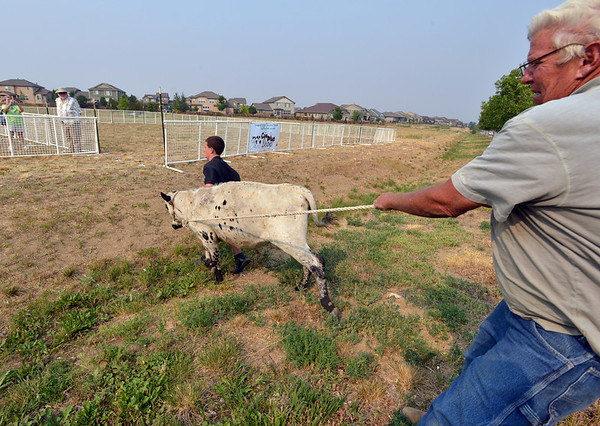"Jerry Dale, right, and Cody Kauffman, 12, with the Wild West Ranch, bring Ralph the ""cow'"" to the Cow Plop Drop pen for the Senior Center fundraiser Broomfield's Great American Picnic at the Broomfield County Commons Park on Wednesday.<br /> <br /> JJuly 4, 2012<br /> staff photo/ David R. Jennings"