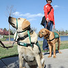 Keena, left, looks for signals from Gwen Nicodemus while Sara Gettelman waits to walk past with Viva during a Guide Dogs for the Blind, puppy in training demonstration at Community Park.<br /> <br /> April 6, 2012 <br /> staff photo/ David R. Jennings