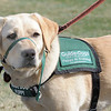 Keena waits for a command during a Guide Dogs for the Blind, puppy in training demonstration at Community Park.<br /> <br /> April 6, 2012 <br /> staff photo/ David R. Jennings