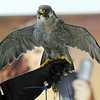 A Peregrine Falcon held by HawkQuest volunteer Gina Gerkin during a presentation by HawkQuest to Westlake Middle School 6th graders in the Wolf Pack Corps on Tuesday.<br /> <br /> November 24, 2009<br /> Staff photo/David R. Jennings