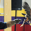 HawkQuest volunteer Jeannie Smythe releases a Harris Hawk to fly across the room for students in the 6th grade Wolf Pack Corps to see the raptor in flight during a presentation at Westlake Middle School on Tuesday.<br /> <br /> November 24, 2009<br /> Staff photo/David R. Jennings
