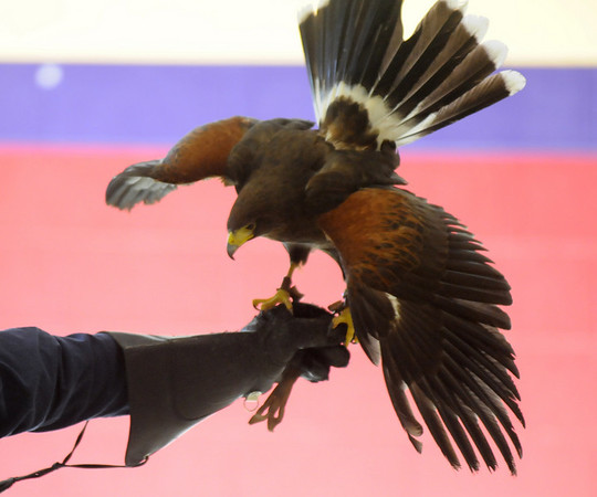 A Harris Hawk shows it's colors while on the gloved arm of HawkQuest master falconer Kin Quitugua during his presentation to Westlake Middle School 6th graders in the Wolf Pack Corps on Tuesday.<br /> <br /> November 24, 2009<br /> Staff photo/David R. Jennings