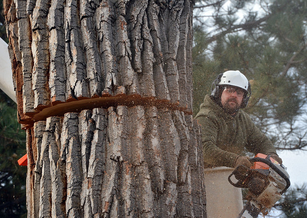 Grant Lauer an arborist with Arbortec tree service cuts a 5,000 lb. section of a 92 year old cottonwood tree along King Circle on Tuesday, rescuing two honeybee hives containing 80,000 honey bees.<br /> November 27, 2012<br /> staff photo/ David R. Jennings