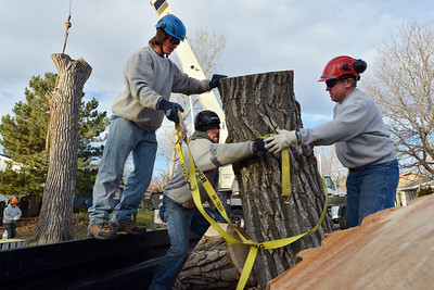 Arborists Brian Toth, left, Adam Stagner and Dennis Shea with Arbortec tree service secure a 1,500 lb. section from a 92 year old cottonwood tree containing a honey bee hive to a trailer along King Circle in Westlake on Tuesday. The team rescued two honeybee nests containing 80,000 honey bees. November 27, 2012 staff photo/ David R. Jennings