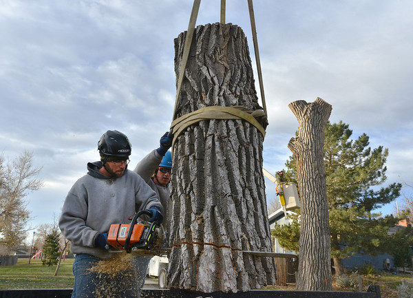 Arbortec tree service arborist a Adam Stagner, left, and Brian Toth trims a 1,500 lb. section of a 92 year old cottonwood tree containing a bee hive in Westlake on Tuesday. The team rescued two honeybee hives containing 80,000 honey bees from the tree.<br /> November 27, 2012<br /> staff photo/ David R. Jennings