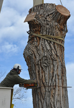 Grant Lauer an arborist with Arbortec tree service cuts a 5,000 lb. section of a 92 year old cottonwood tree along King Circle on Tuesday, rescuing two honeybee hives containing 80,000 honey bees. The plywood on the tree blocks the bees from leaving the nest. The plywood board above Lauer protects the bees.<br /> <br /> November 27, 2012<br /> staff photo/ David R. Jennings