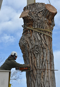 Grant Lauer an arborist with Arbortec tree service cuts a 5,000 lb. section of a 92 year old cottonwood tree along King Circle on Tuesday, rescuing two honeybee hives containing 80,000 honey bees. The plywood on the tree blocks the bees from leaving the nest. The plywood board above Lauer protects the bees.  November 27, 2012 staff photo/ David R. Jennings
