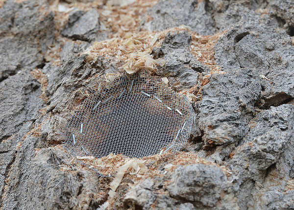 Screen was placed over a hole in a section of a 92 year old cottonwood tree to rescue 80,000 honey bees in Westlake on Tuesday.<br /> November 27, 2012 <br /> staff photo/ David R. Jennings