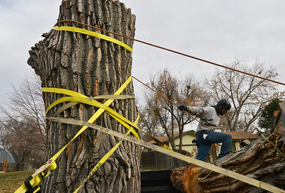Adam Stagner with Arbortec tree service helps strap a 5,000 lb. section of a 92 year old cottonwood tree to a trailer to rescue two honeybee hives containing 80,000 honey bees in Westlake. November 27, 2012 staff photo/ David R. Jennings