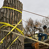 Adam Stagner with Arbortec tree service helps strap a 5,000 lb. section of a 92 year old cottonwood tree to a trailer to rescue two honeybee hives containing 80,000 honey bees in Westlake.<br /> November 27, 2012<br /> staff photo/ David R. Jennings
