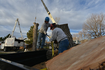A crew from Arbortec tree service anchors a 1,500 lb. section of a 92 year old cottonwood tree in Westlake rescuing two honeybee hives containing 80,000 honey bees. November 27, 2012 staff photo/ David R. Jennings