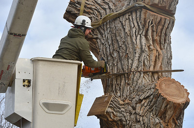 Grant Lauer an arborist with Arbortec tree service cuts a 3,000 lb. section off of a 92 year old cottonwood tree along King Circle, rescuing two honeybee hives containing 80,000 honey bees. The plywood board below Lauer protects the bees.  November 27, 2012 staff photo/ David R. Jennings