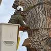 Grant Lauer an arborist with Arbortec tree service cuts a 3,000 lb. section off of a 92 year old cottonwood tree along King Circle, rescuing two honeybee hives containing 80,000 honey bees. The plywood board below Lauer protects the bees.<br /> <br /> November 27, 2012<br /> staff photo/ David R. Jennings